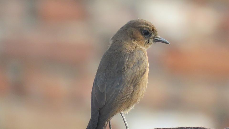 Nightingale, Rufous Nightingale, A Small Passerine Bird