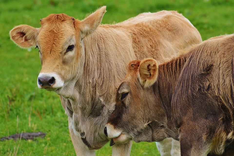 Cows, Allgäu, Cute, Smooch, Ruminant, Dairy Cattle