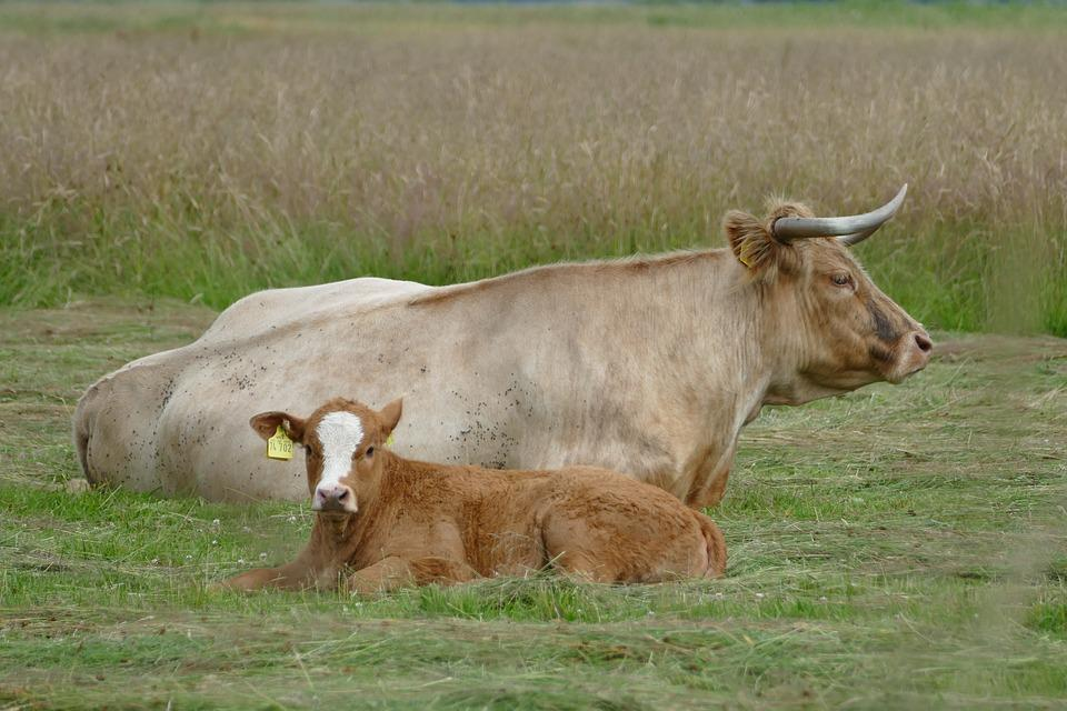 Meadow, Cattle, Ruminant, Agriculture, Calf