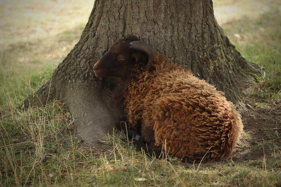 Sheep, Lamb, Mammal, Ruminant, Livestock, Wool