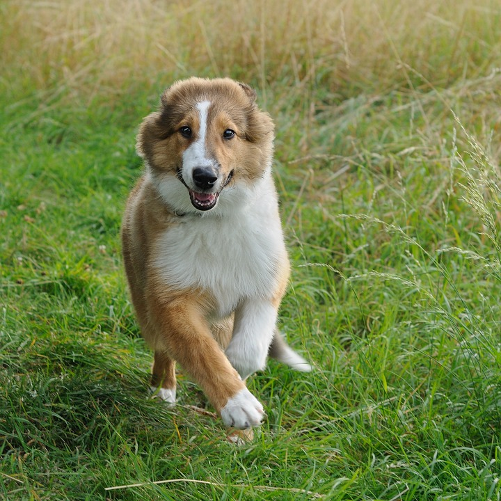 Dog, Collie, Run, Young, Animal