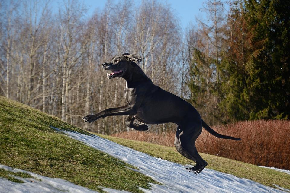 Great Dane, Run, Dog