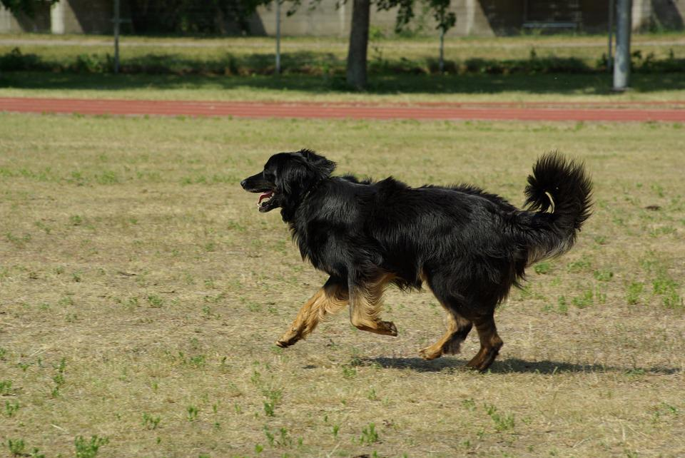 Dog, Hovawart, Animal, Competition, Obedience, Running