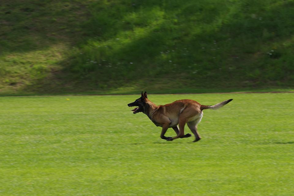 Belgian Shepherd Malinois, Dog, Running, Competition