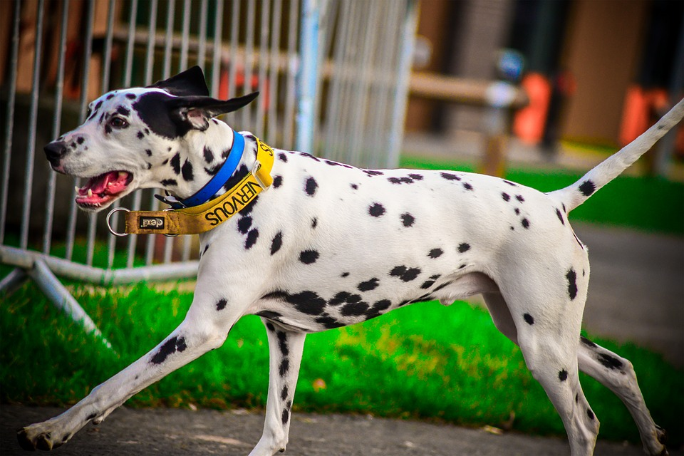 Dalmatian, Dog, Running, Action