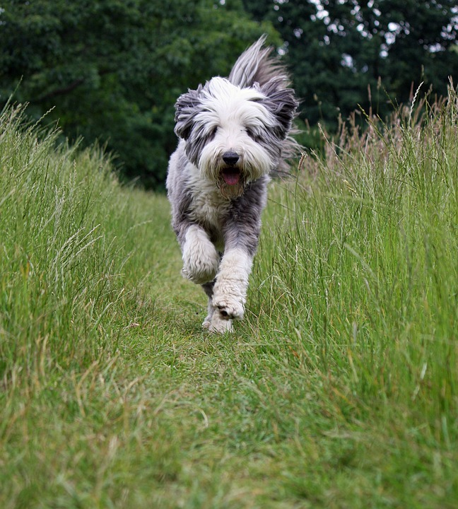 Dog, Bearded Collie, Collie, Running, Action, Active