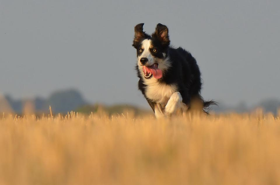 Border Collie, Running Dog, Field, Summer