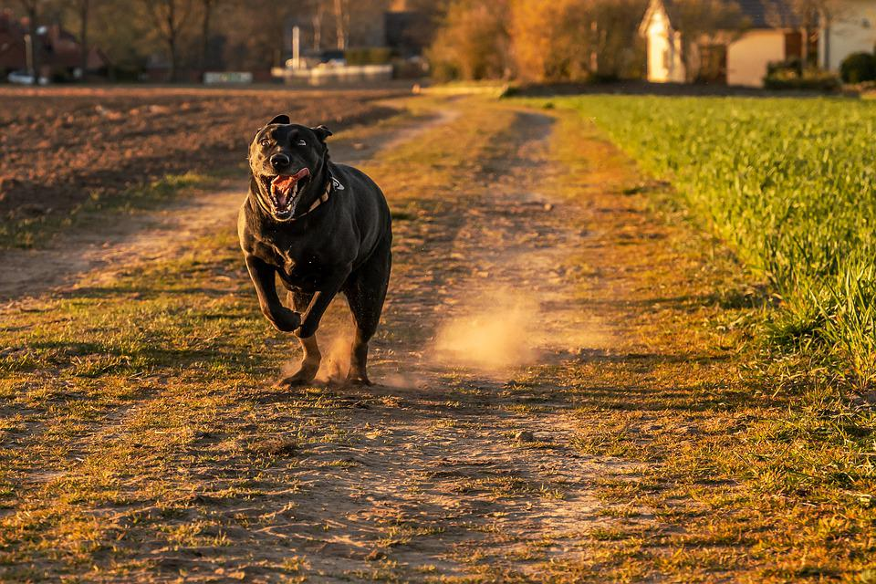 Dog, Pet, Run, Running, Running Dog, Animal, Portrait