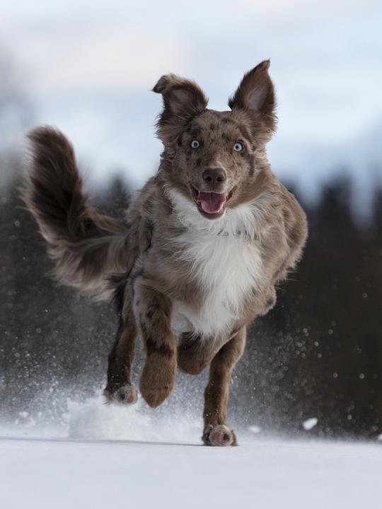 Dog, Australian Shepherd, Run, Snow, Running, Outdoors