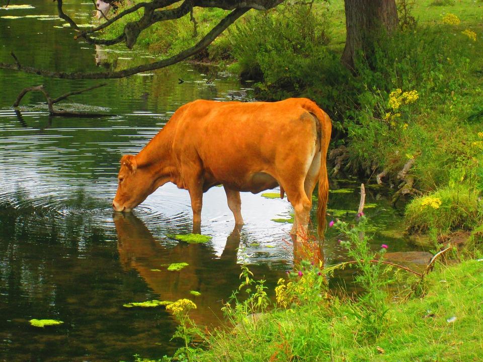Cow, Drinking, Lake, Cattle, Animal, Rural, Water
