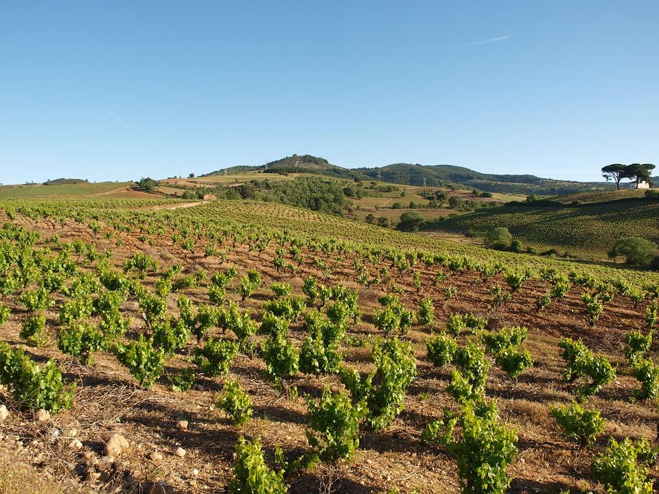 Field, Summer, Vineyard, Agriculture, Rural