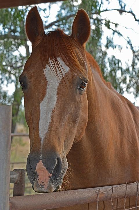 Horse, Head, Rural, Horse Head, Farm