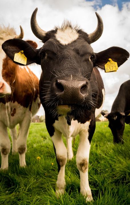 Livestock, Cow, Cattle, Rural, Mammal, Farm, Animal