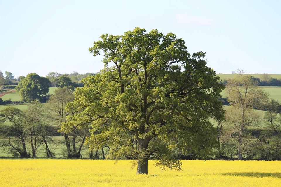 Countryside, Oak, Tree, Landscape, England, Rural