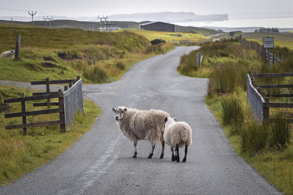 Road, Sheep, Rural, Farm, Animals, Livestock, Mammals