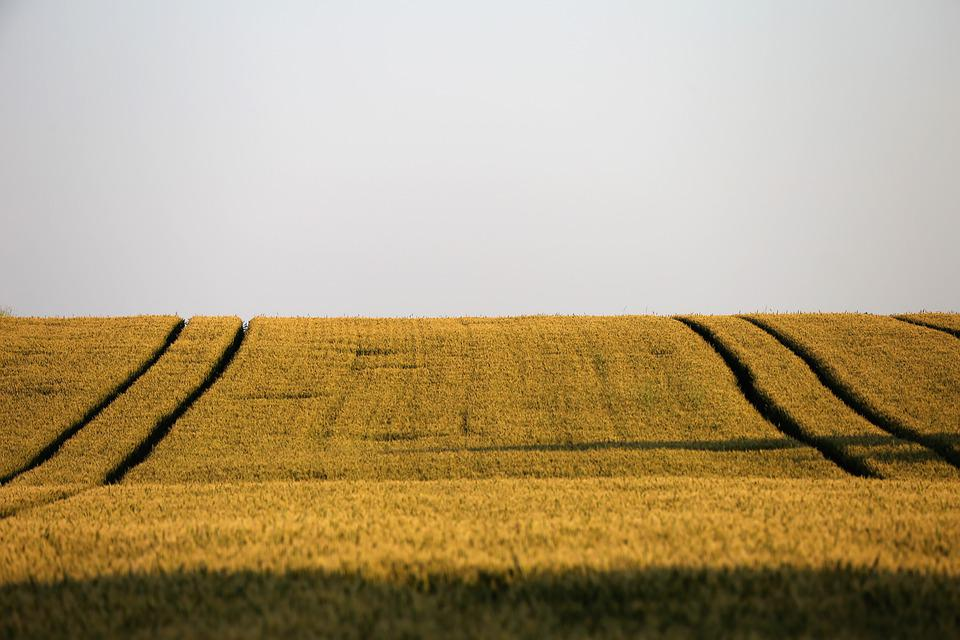 Agriculture, Wheat Field, Plant, Landscape, Rural