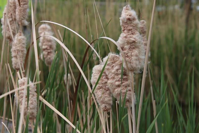 Reeds, Rushes, Cattails, Mature, Split, Foliage, Plants