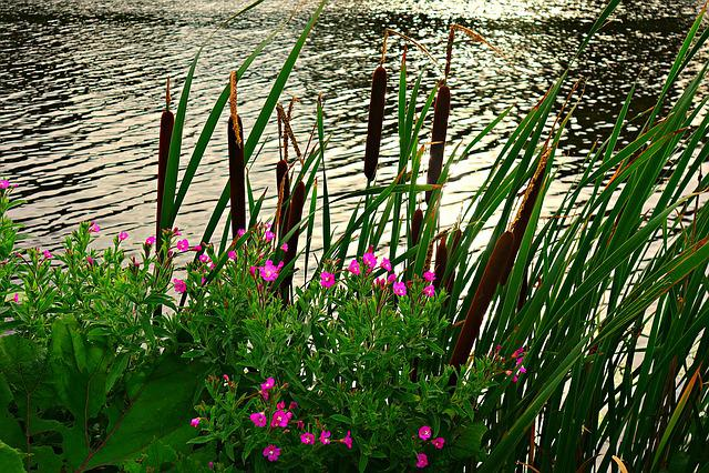 River, Riverbank, Rushes, Reeds, Vegetation