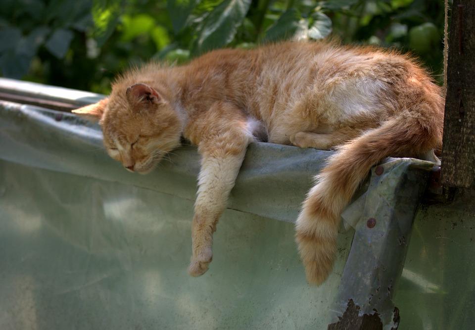 Cat, Sleep, Russet, Lazy