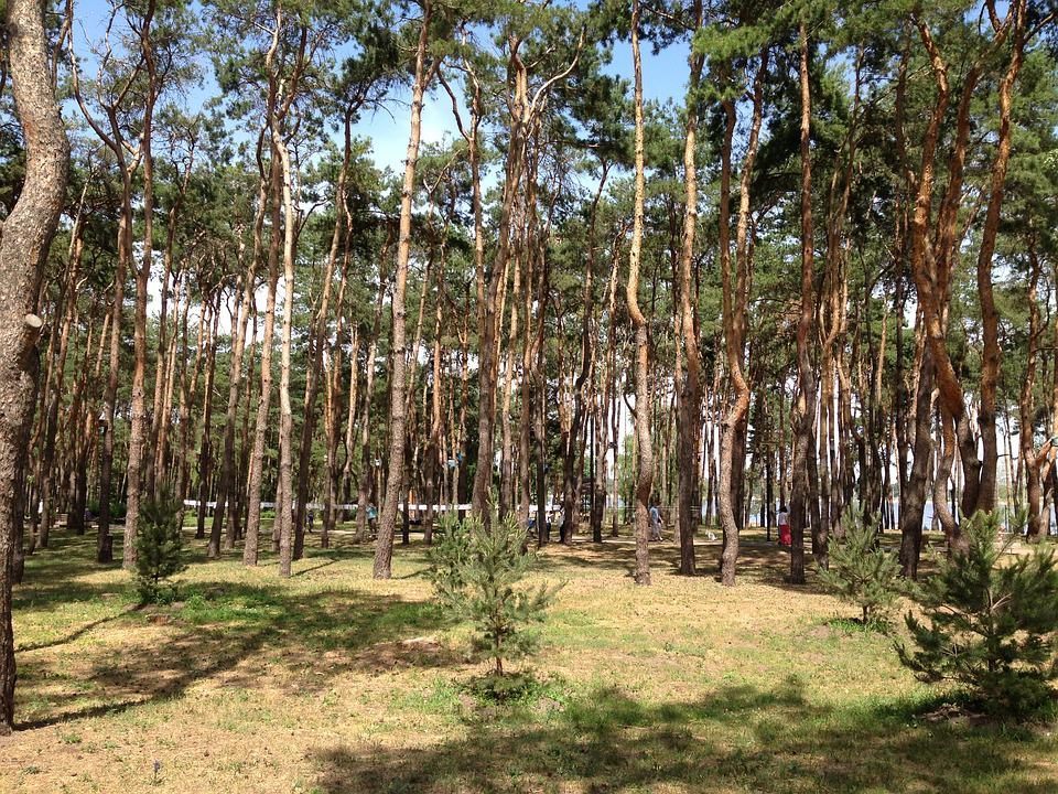 Forest, Pine, Trees, Needles, Russia, Voronezh, Spruce