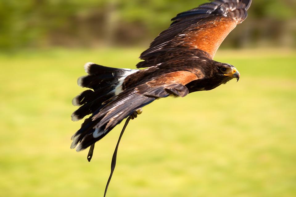Adler, Russian Steppe Eagle, Raptor, Birds Of Prey Show