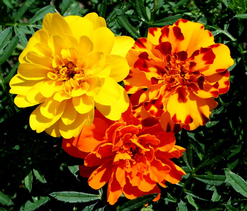 Marigolds, Flowers, Yellow, Orange, Rust, Floral