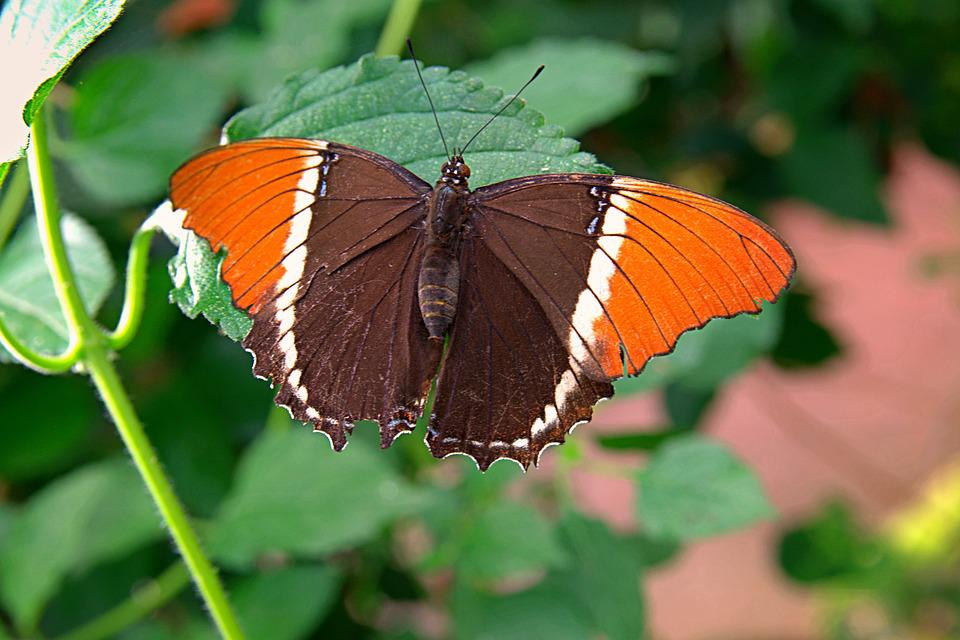 Rusty-tipped Page Butterfly, Wings, Black, Green