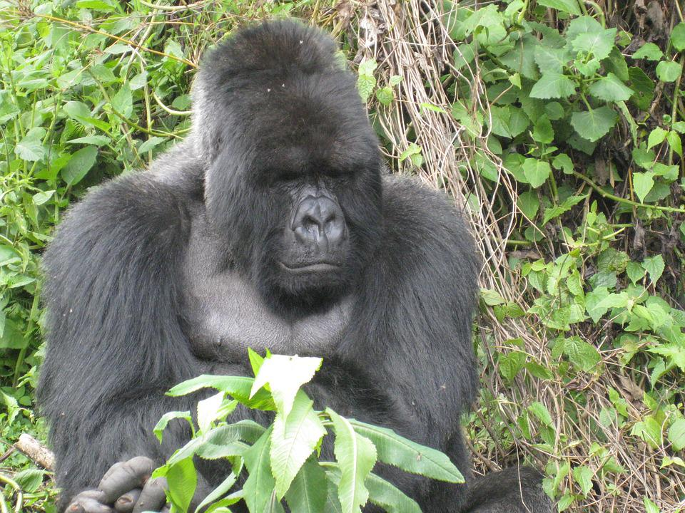Gorilla, Rwanda, Jungle