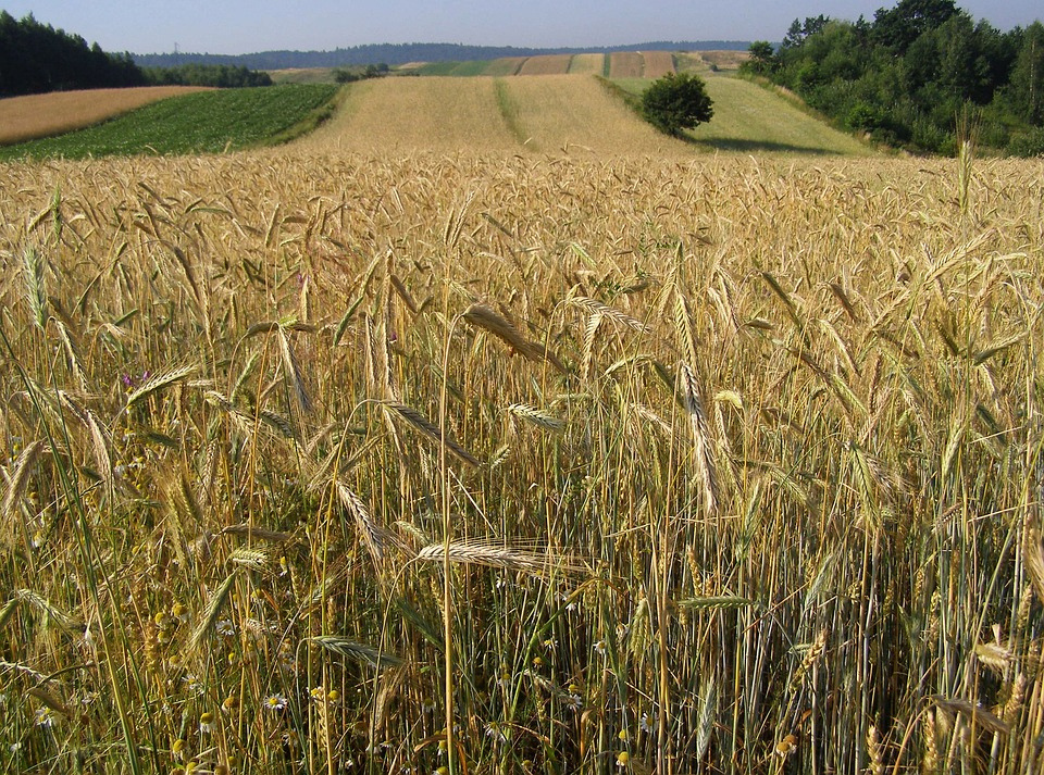 Corn, Rye, Ears, Field Crops, Agriculture, Summer