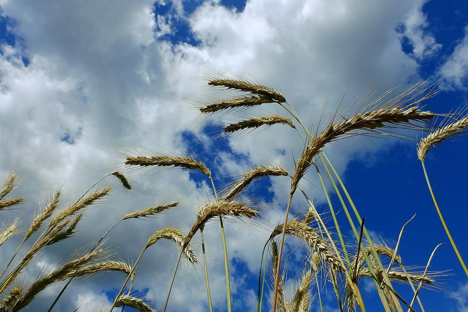 Rye, Corn, Agriculture, Collections, Summer, Clouds