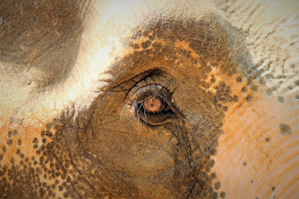 Elephant, Elephant Eye, Sad, Young Animal, Eyelashes