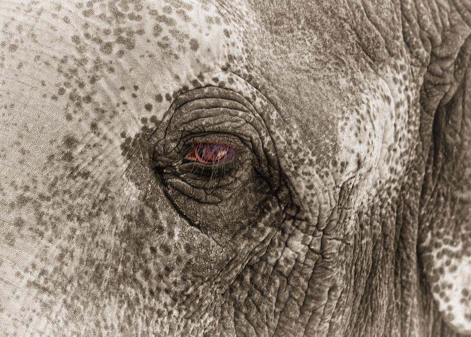 Elephant, Eye, Sad, Caught, Zoo, Black White, Bw