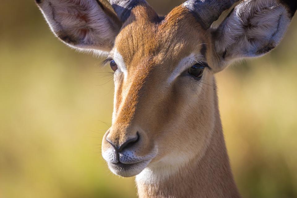 Safari, Antelope, Botswana, Nature, Animal, Africa