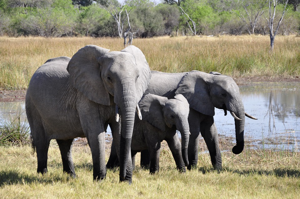 Elephant, Africa, Okavango Delta, Animal, Safari