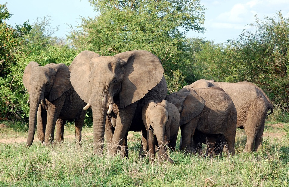 Elephants, Mammals, Herd, Family, Safari, Africa