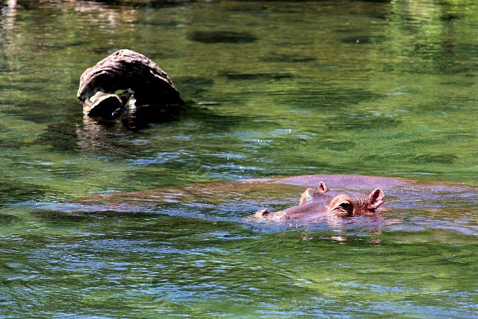 Hippo, Africa, Safari