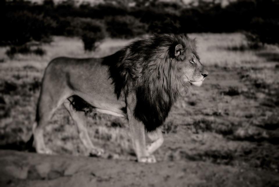 Lion, Black White, Africa, Safari, Animal, Predator
