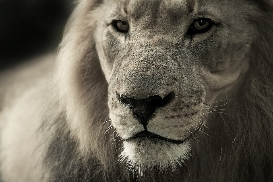 Lion, Animal Portrait, Africa, Safari, Wild Animal