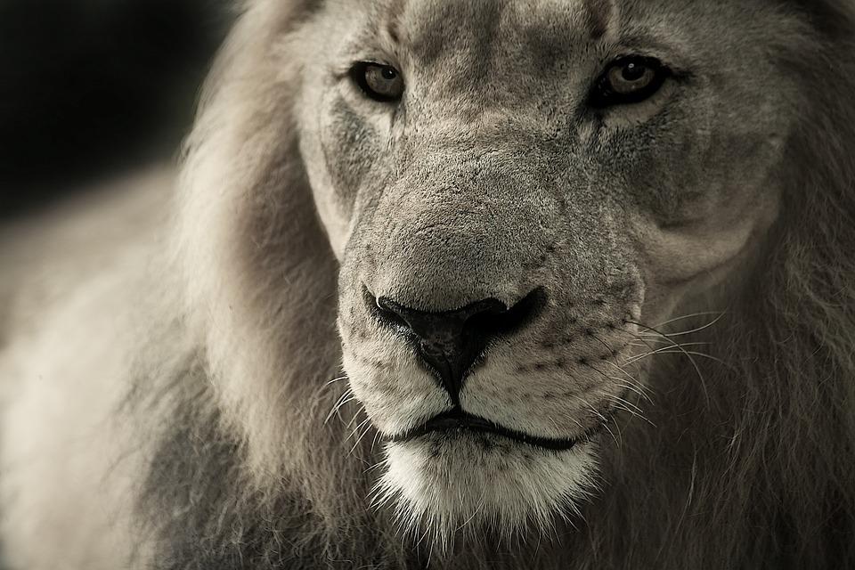 Lion, Animal Portrait, Africa, Safari, Wild Animal