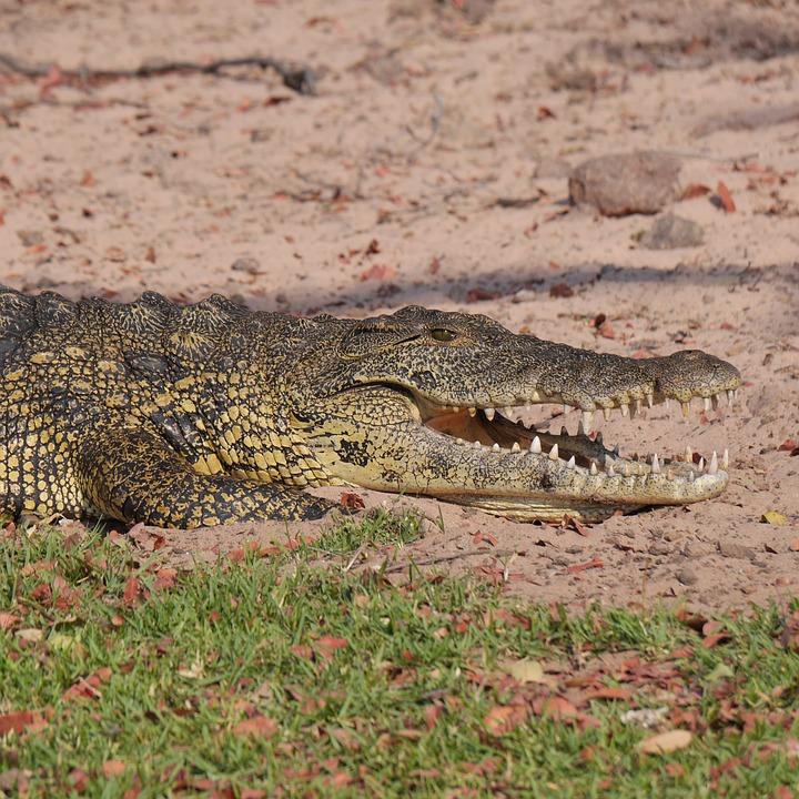 Crocodile, Namibia, Animals, Safari, Animal World