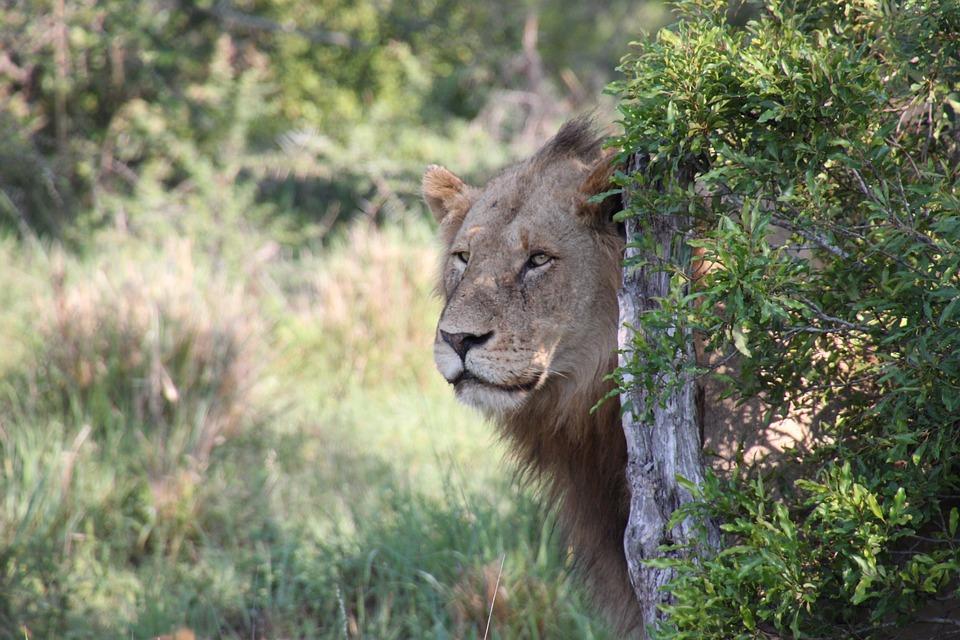 Nature, Lion, South Africa, Safari, Animals, Wildlife