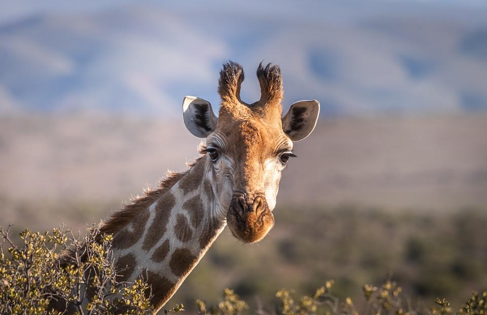 Giraffe, Portrait, Safari, South Africa, Head, Neck