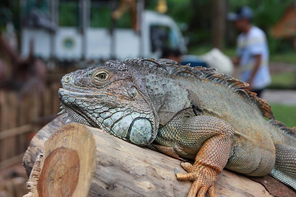 Lizard, Safari, Big Wood