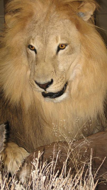 Lion, Male, Safari