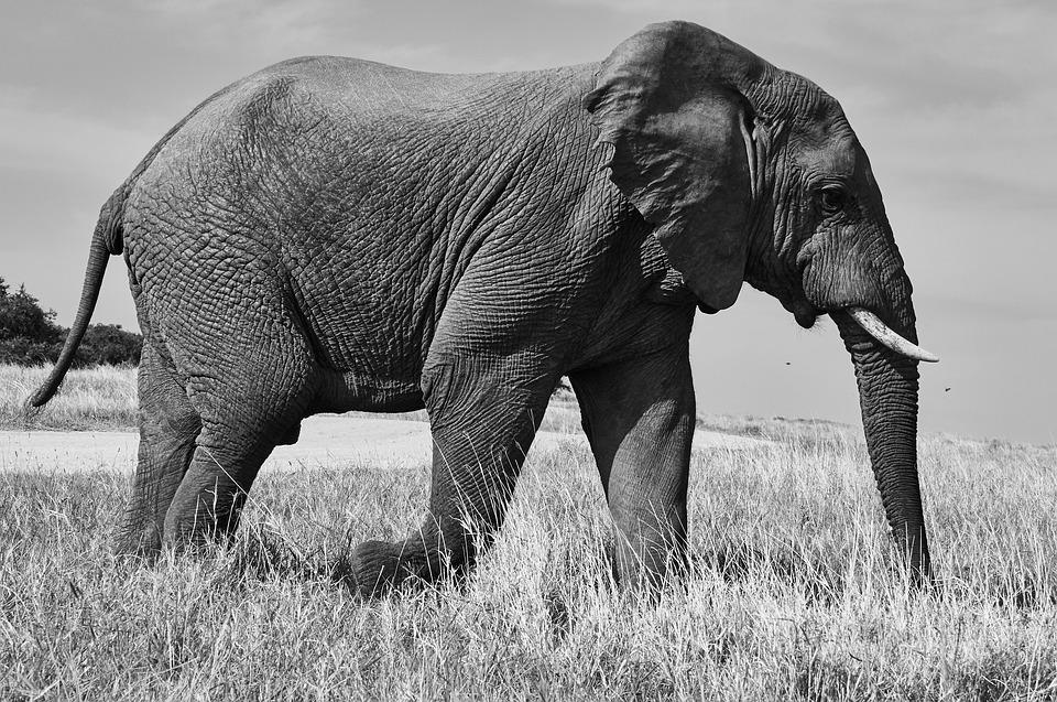 Elephant, South Africa, Safari, Nature, Animal World