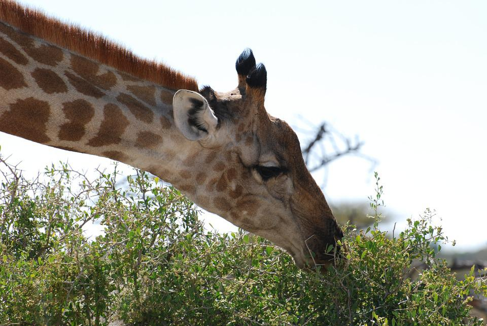 Giraffe, Nature, Safari