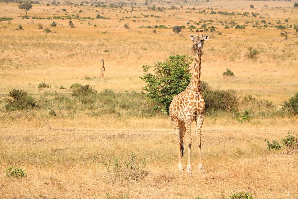 Safari, Savanna, Wildlife, Nature, Giraffe, Reserve