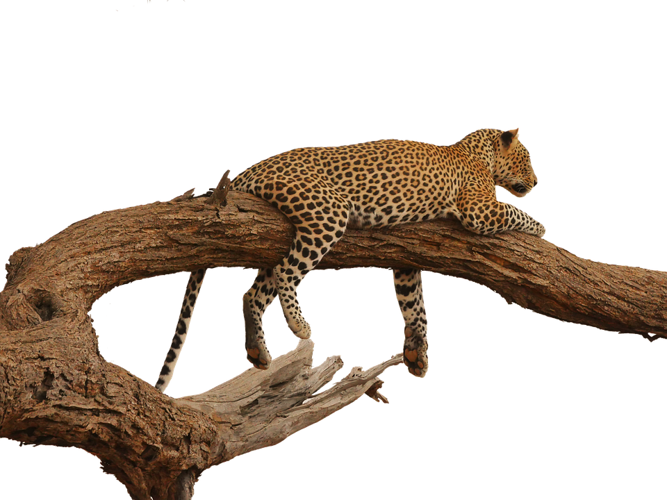 Leopard, Acacia, Overview, Savannah, Isolated, Safari