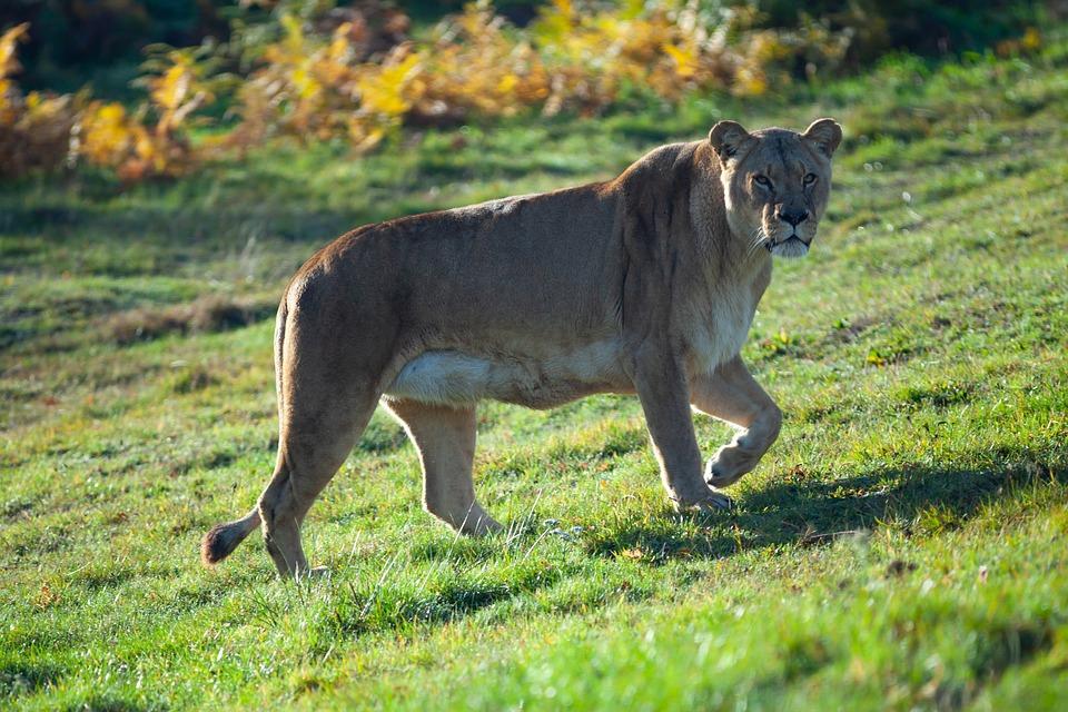 Lioness, Woburn, Stalk, Stare, Lion, Safari Park