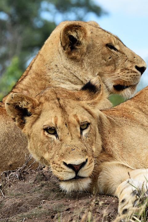 Lions, Friends, Africa, Predator, Cat, Safari, Tourism